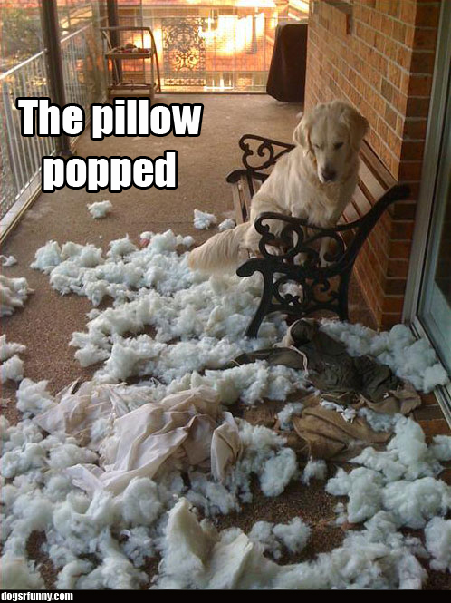 The pillow popped funny dog picture The pillow popped