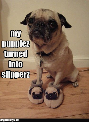 my puppiez turned into slipperz funny pug dog My puppiez turned into slipperz