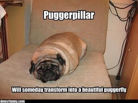 puggerpillar Puggerpillar